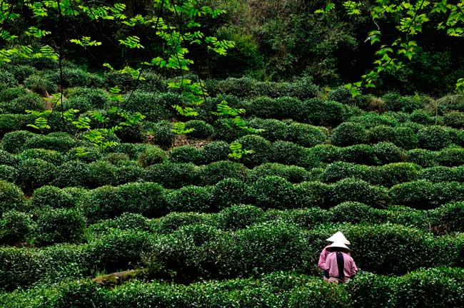 Hangzhou is home of the Longjing tea fields, where the world-famous Longjing tea has its origins.